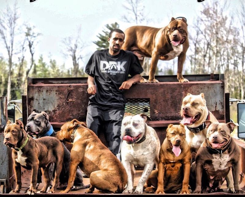 Gentle Giant Hulk: The Biggest and the Sweetest Pitbull in