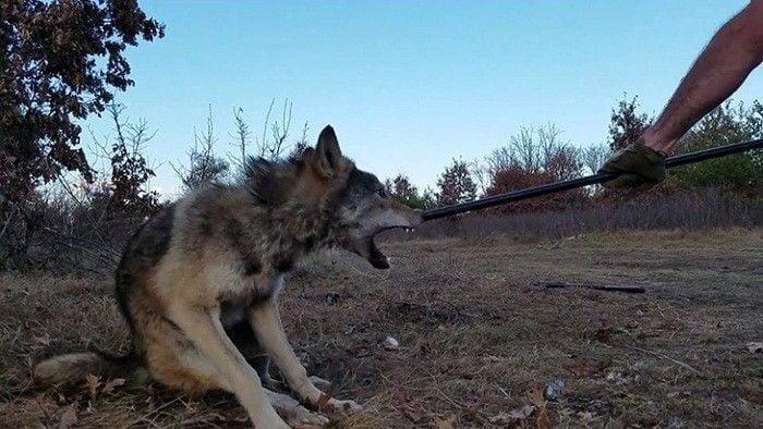 lobo atrapado en una trampa atacando
