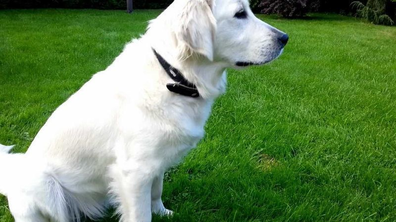 Adorable Golden Retriever Becomes a Superhero Dog For Doing This