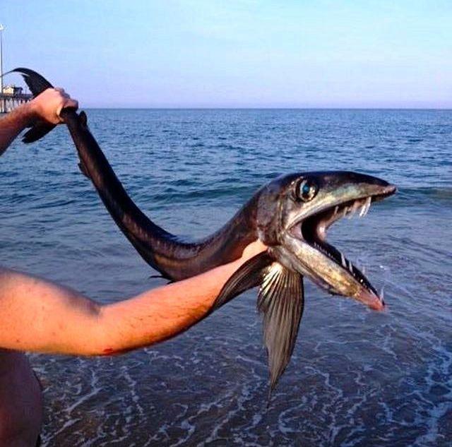 Strange FishFrilled Shark that exist!  190814_085851_11