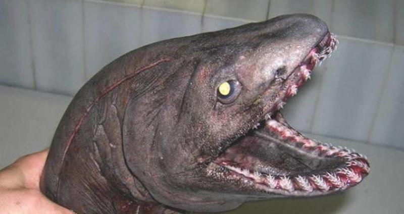 Strange FishFrilled Shark that exist!  190814_085851_16