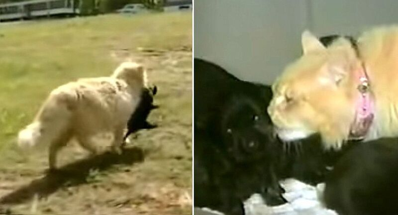 Bereft Cat Dognaps a Disinterested Mother Dog's Puppies - LIFE WITH DOGS